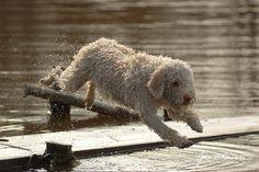 Splash!Lagotto romagnolo