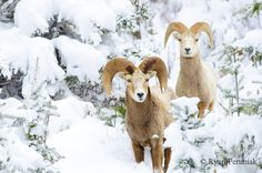 big-horned sheep by Canadian wildlife photographer Ryan Peruniak