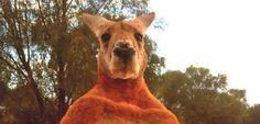 Känguru-Kraftpaket: Leg dich nicht mit Roger an - SPIEGEL ONLINE - Nachrichten - Panorama