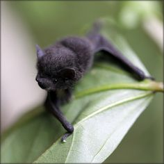 I've pet a baby bat before! It was in my backyard hanging on a vine! It was so cute and fuzzy! At first I thought it was some kind of fungus! But it was just a fuzzy lil bat!