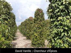 Récolte chez les producteurs de poivre Kâmpôt au Cambodge - David Vanille : Chercheur d'Épices Kampot, Vanille Bourbon, Plantation, David, Stuffed Peppers, Fruit, Pepper, The Producers, Cambodia