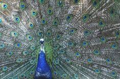 Peacock, 4 Miejsce, Wtapianie, Ptak, Kolorowy, Kolor
