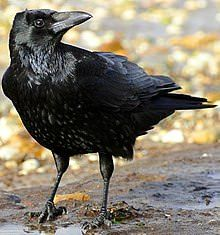 I think Ravens are adorable sadly my friend Vince doesen't know the difference between a Raven and a Crow so I made this post :) http://ift.tt/2DxqPV3