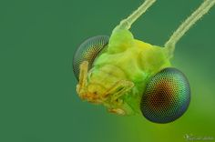 Green Lacewing by *AlHabshi on deviantART
