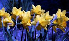 Daffodil Blues - Kim Avent-DiLorenzo