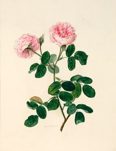 still life quick heart Rose Illustration, Graphic Illustration, Vintage Fans, Vintage Roses, Vintage Floral, Botanical Drawings, Botanical Prints, Artist Painting, Still Life