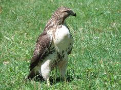 Red Tail Hawk - JL
