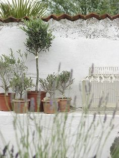 Potted Olive Trees against the white wall