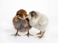 Pair of Java Chicks