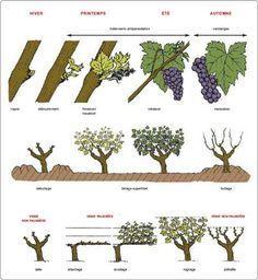 Guide Vin, Wine Guide, Grape Plant, Grape Tree, Orchard Design, Grape Vineyard, Grape Trellis, Wine Jelly, Wine Education