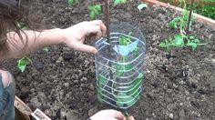 Proteger los tomates en el huerto