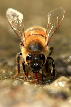 Thirsty Honey Bee, bees need water.