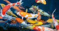 Color Wallpaper Iphone, Colorful Wallpaper, Go To Japan, Visit Japan, Japanese Koi, Koi Carp, Pet Fish, Japan Travel, Vibrant Colors