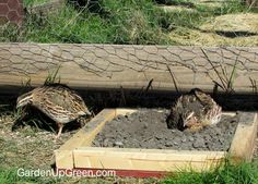 DIY steps to building simple dust bath boxes for quail living in captivity ont the ground. Raising Farm Animals, Garden Angels, Livestock, Garden Inspiration, Quails, Backyard, Bath, Pheasant, Homesteading