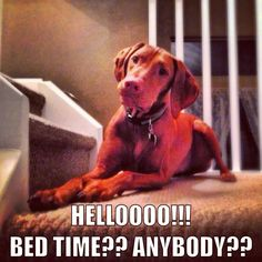 Vizsla's routines... non-negotiable.  Our Sammy was ready for bed every night at 8pm!