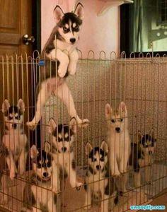 Siberian Huskies!!
