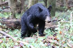 Finally saw bear in Cades Cove!