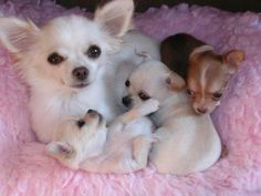 How sweet Chihuahua Mom with her puppies