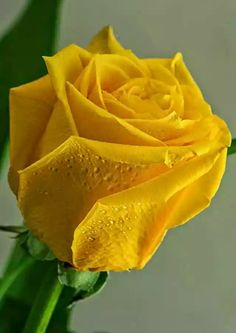 Most current Photos types of Yellow Roses Suggestions Roses tend to be a perfect approach to communicate inner thoughts one might have got for another. Beautiful Flowers Wallpapers, Beautiful Rose Flowers, Flowers Nature, Exotic Flowers, Amazing Flowers, Pretty Flowers, Rainbow Roses, Growing Roses, Hybrid Tea Roses