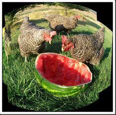 hens-eating-watermelon-