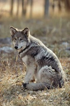 Picture by Jim and Jamie Dutcher - The world of wolves North American Wolf, Zoo Animals, Animals And Pets, Cute Animals, Woodland Animals, Wild Animals, Animal Totems, Wolf Hat, A Wolf