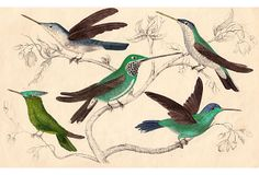 One Kings Lane - Never  Empty-Handed - Hand-Colored Hummingbirds C. 1847