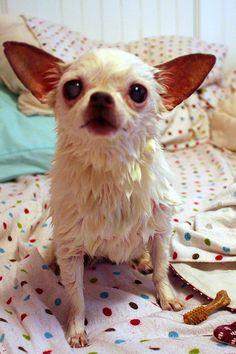 Chihuahua recién salido del baño #perro #chihuahua