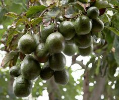 Grow Avocados Anywhere in the Country