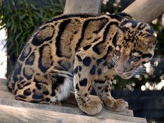 CLOUDED LEOPARD - lClouded Leopards live in the deep forests of China and Southeast Asia,  usually at high altitudes about 2,000 to 3,000 meters above sea level. The Clouded Leopard is particularly skilled at climbing trees, and can hang from trees by their hind legs like monkeys They eat boar, deer, and cows. Sometimes they capture and eat birds and snakes too.