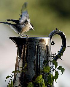 photograph: Chickadee with Coffeepot