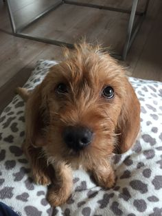 Wire haired Dachshund Terrier Mix Awesome Animals