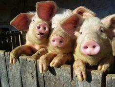 Lustige Schweine Bilder | kleine Pause Unterhaltung