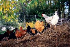 Chickens compost -- Grow a garden to feed your chickens and let them feed your garden. Here's a helpful article about giving your flock homegrown, all-natural feeds -- and reaping the benefit in rich compost.