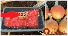 Keď budete sadiť cibuľu držte sa tejto jednoduchej rady a úroda sa vám znásobí: Ja to robím každý rok a mám jej na rozdávanie! Garden Inspiration, Watermelon, Fruit, Vegetables, Food, Gardening, Onion, Pallets, Meal