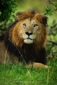 ☀Notch  King of the Mara: If there is a lion king, it is Notch, the oldest and most well known lion in the Masai Mara.  by David Lloyd Wildlife Photography