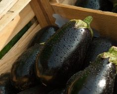 Eggplants—also known as aubergine or brinjal—are warm-weather vegetables that are harvested in mid- to late summer. See how to plant, grow, harvest, and cook these lovely deep-purple crops—one of our favorite grilling vegetables! Healthy Eggplant, Baked Eggplant, Grilled Eggplant, Eggplant Recipes, Eggplant Dishes, Eggplant Varieties, Eggplant Seeds, Eggplant Benefits, Growing Eggplant