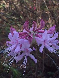 Pink wild azaleas.
