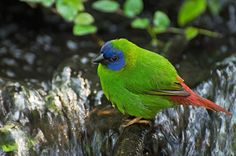 The Blue-faced Parrot Finch (Erythrura trichroa) is a pretty little fellow which gives lie to the old adage 'blue and green should never be seen'. It may also be called the blue-headed parrot finch or the tri-coloured parrot finch. It is one of the finches endemic to Australia. In the case of the blue-faced parrot finch, it is found in north-east Queensland from the Atherton tableland to Cape York. It is also found in New Guinea, the Solomon Islands and other islands in the region