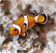 1000 images about saltwater reef tanks on pinterest for Clown fish care