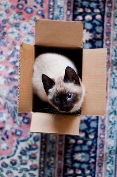 ideas for cats siamese products Siamese Kittens, Kittens Cutest, Cats And Kittens, Crazy Cat Lady, Crazy Cats, I Love Cats, Cute Cats, Funny Cats, Gato Gif
