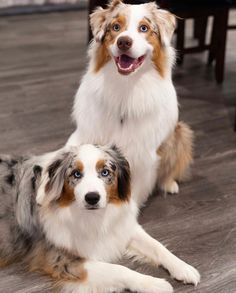 Aussie Shepherd, Australian Shepherd Dogs, Cute Puppies, Cute Dogs, Dogs And Puppies, Border Collies, Sheltie, Adorable Animals, Puppy Love