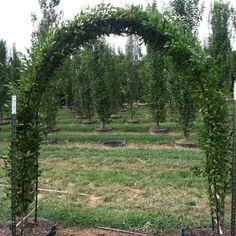 Green Vase Zelkova Narrower Trees Pinterest