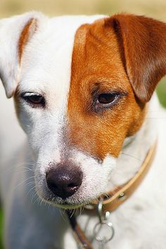 Jack Russell love!