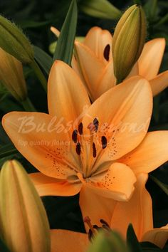 """Order top quality, top size Asiatic Lily bulbs """"Salmon Classic"""" online from Bulbs & beyond! Buy asiatic lily bulb """"Salmon Classic"""" now for stunning colours in summer!"""