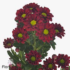 Chrysanthemum Santini Lisette