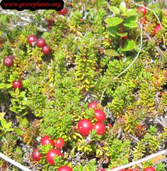 Crowberry fruit