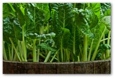Cultivar acelgas en huerto en casa l EcoHortum