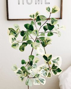 Indoor Vertical Gardening Tips and Ideas Organic gardening isn't always about food to eat. Some people enjoy growing flowers and other forms of plant life as well. You can grow anything bereft of harmful chemicals as long as you're d Planting Succulents, Garden Plants, Planting Flowers, Interior Plants, Interior Exterior, Ficus, Easy House Plants, Plant Aesthetic, Aesthetic Roses