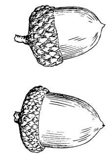 Acorn line drawing