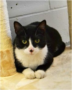 This handsome boy is Bubba, a 1 year old Domestic Shorthair Mix.  (631) 651-9788 TOHCS@LittleShelter.com